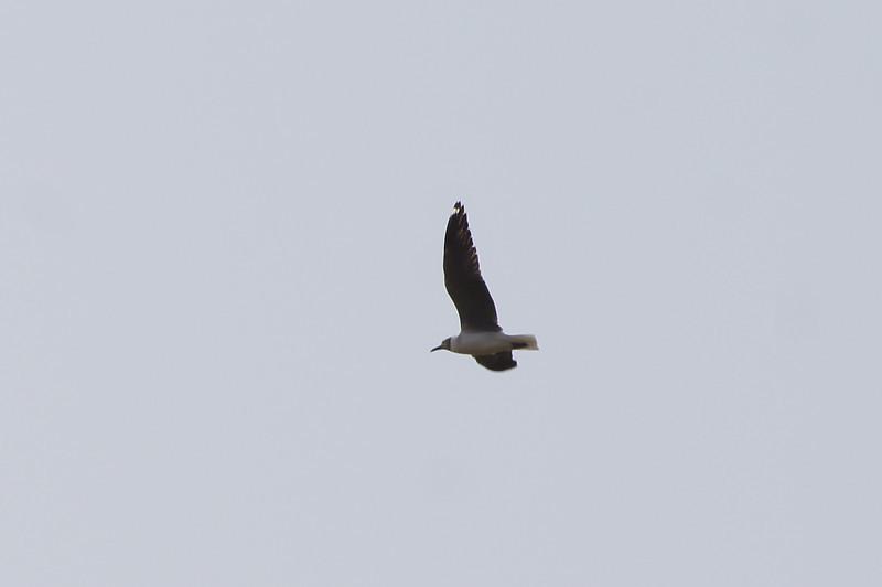 Grey-headed Gull (thanks to Dorian for the correction)