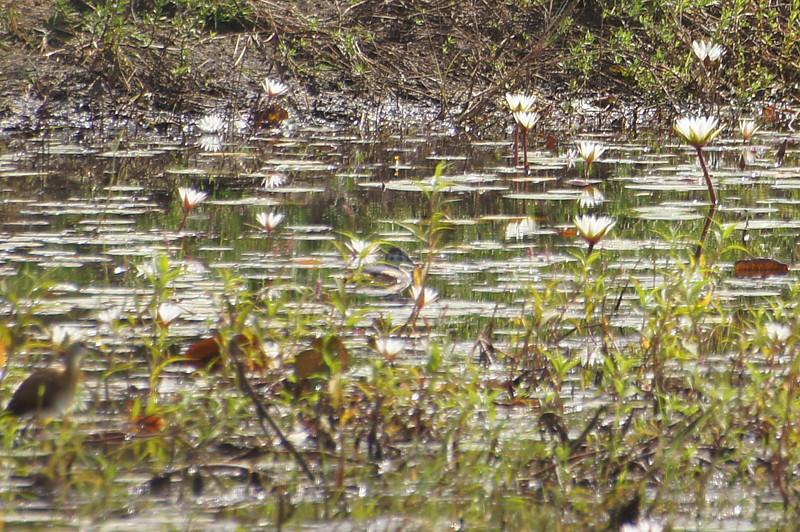 Grainy: female African Pigmy Goose dead centre