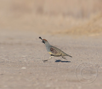 Gambel Quail On The Run