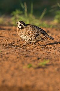 bobwhite quail_6008