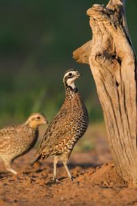 bobwhite quail_6030