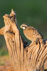 bobwhite quail_6039