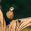 bobwhite quail_5997