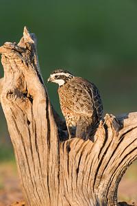 bobwhite quail_6037