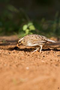 bobwhite quail_5836