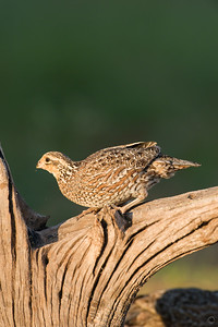 bobwhite quail_6023