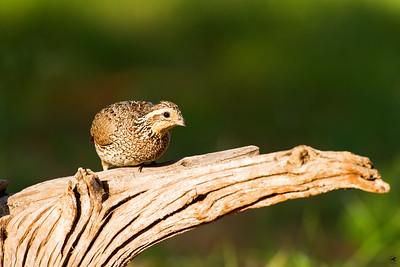 bobwhite quail_5892