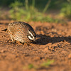 bobwhite quail_6020