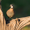 bobwhite quail_6000
