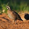 bobwhite quail_5990