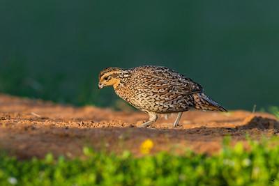 bobwhite quail_5200