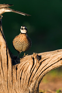 bobwhite quail_5999