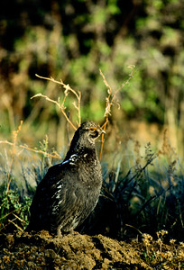Dusky Grouse-113