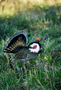 Dusky Grouse-139-1