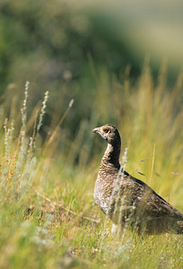 Dusky Grouse-116