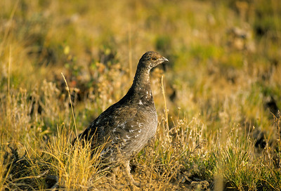 Dusky Grouse-108