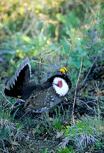Dusky Grouse-125