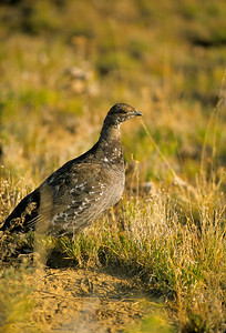 Dusky Grouse-110