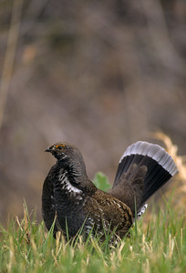 Dusky Grouse-119