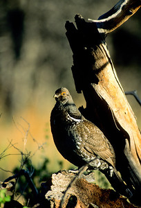 Dusky Grouse-111
