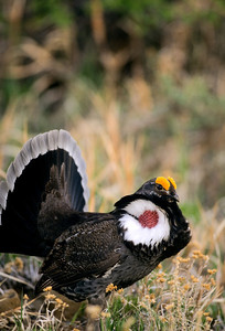 Dusky Grouse-136-1
