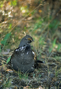 Dusky Grouse-121