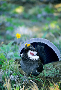 Dusky Grouse-127-1