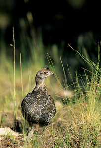 Dusky Grouse-105