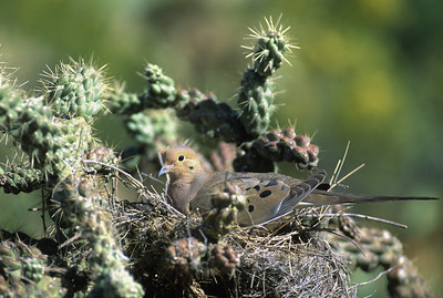 Mourning Dove-120