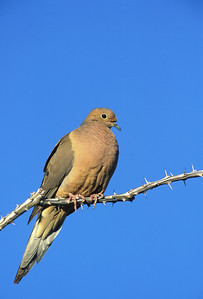 Mourning Dove-101