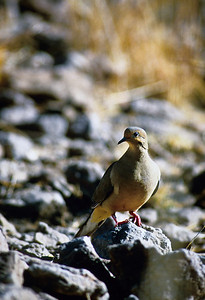 Mourning Dove-130