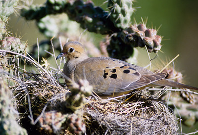 Mourning Dove-125