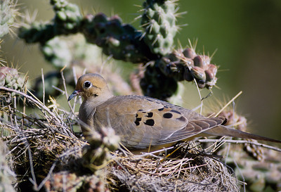 Mourning Dove-121