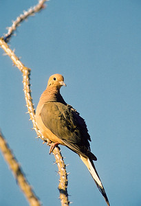 Mourning Dove-103