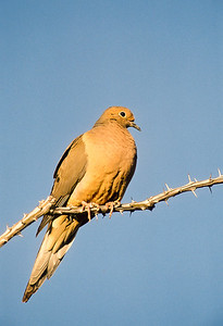 Mourning Dove-102