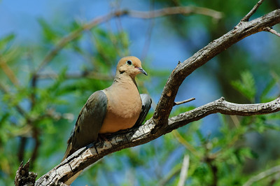 Mourning Dove-115