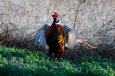 Ring-necked Pheasant-6260