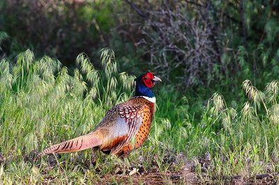 Ring-necked Pheasant-105