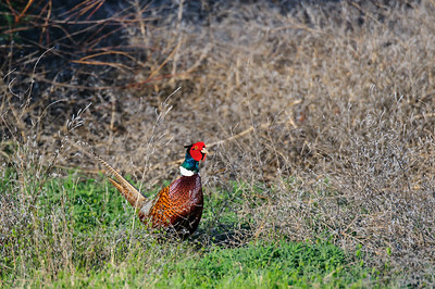 Ring-necked Pheasant-6577