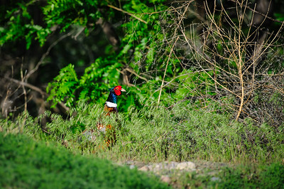 Ring-necked Pheasant-6466
