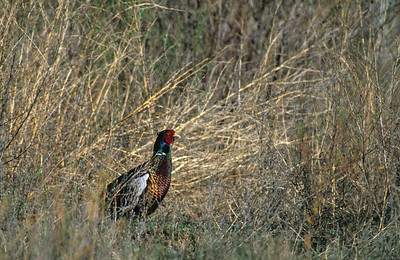 Ring-necked Pheasant-101