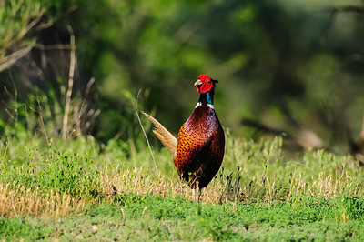 Ring-necked pheasant-129