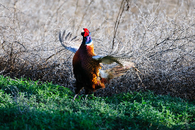 Ring-necked Pheasant-6261