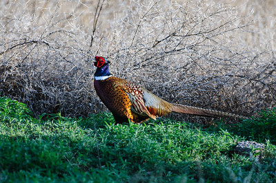 Ring-necked Pheasant-6236