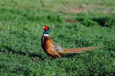 Ring-necked Pheasant-119