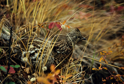 Robin Henry_Ruffed Grouse-104