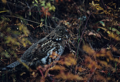 Ruffed Grouse-108