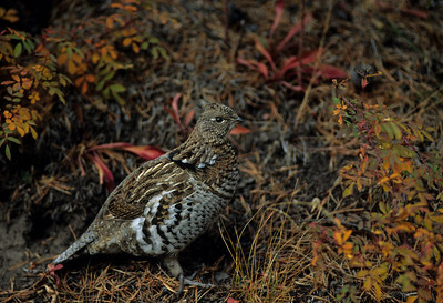 Ruffed Grouse-102
