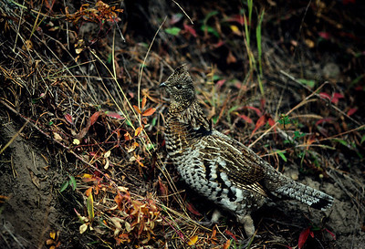 Ruffed Grouse-101