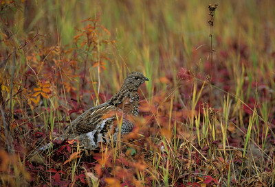 Ruffed Grouse-105